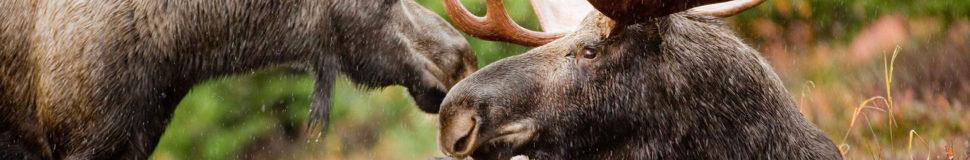 Moose hunting : 5 secrets