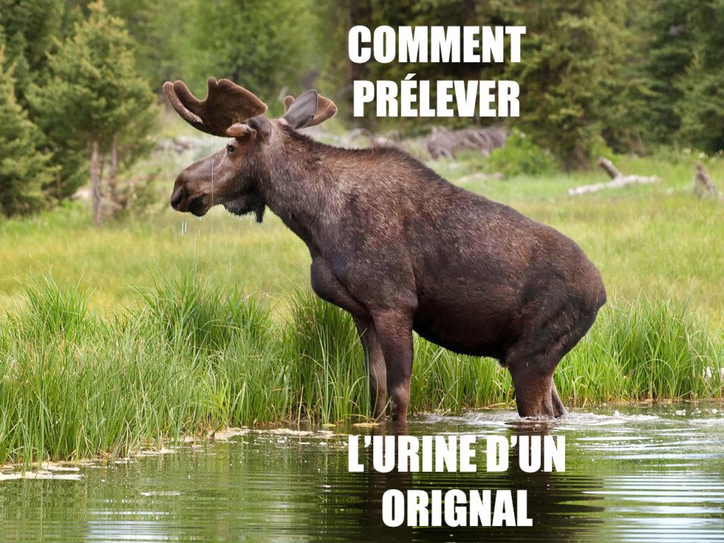 comment prélever l'urine d'un orignal vessie chasse mort leurre appat