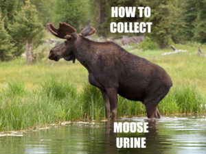 moose hunting urine collect
